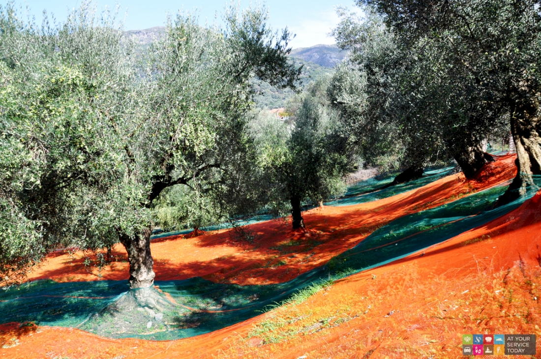 Olive harvesting - At Your Service Today